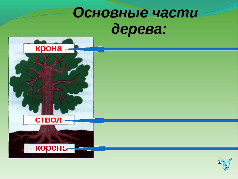 Основные части дерева: корень ствол крона