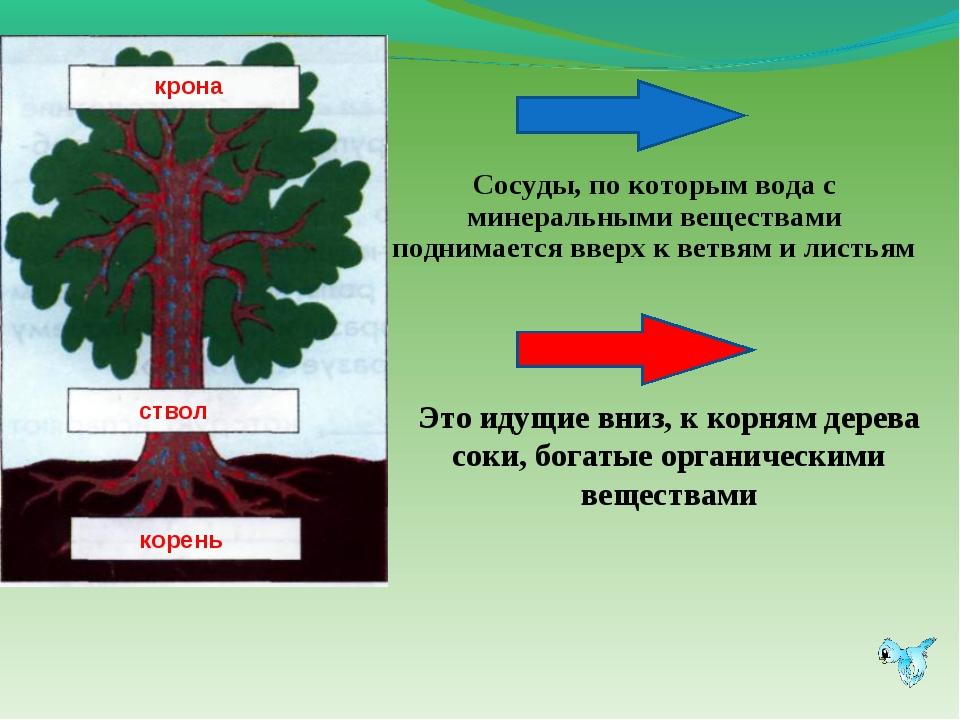 Это идущие вниз, к корням дерева соки, богатые органическими веществами Сосуд...