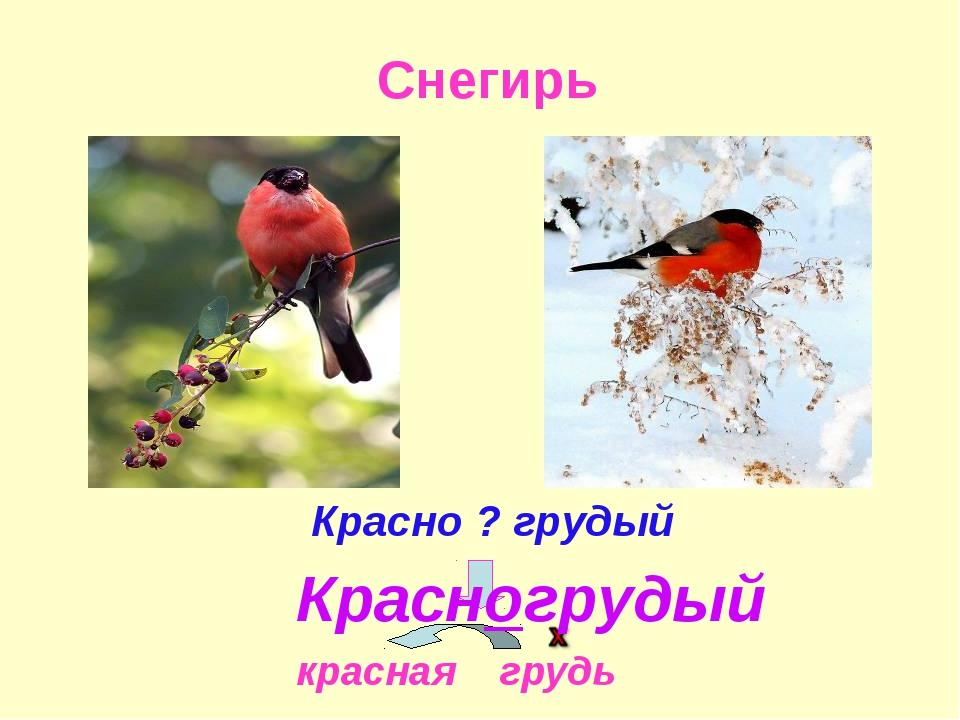Снегирь Красно ? грудый красная грудь Красногрудый