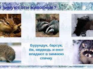 Где зимуют эти животные? Бурундук, барсук, ёж, медведь и енот впадают в зимню