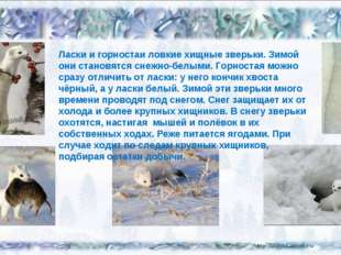 Ласки и горностаи ловкие хищные зверьки. Зимой они становятся снежно-белыми.