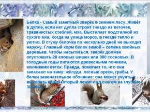 02.02.14 Белка - Самый заметный зверёк в зимнем лесу. Живёт в дупле, если нет
