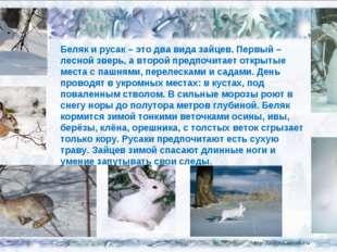 Беляк и русак – это два вида зайцев. Первый – лесной зверь, а второй предпочи