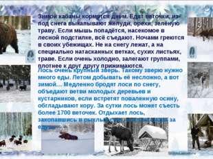 02.02.14 Зимой кабаны кормятся днём. Едят веточки, из-под снега выкапывают жё