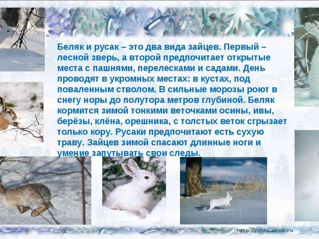 Беляк и русак – это два вида зайцев. Первый – лесной зверь, а второй предпочи...