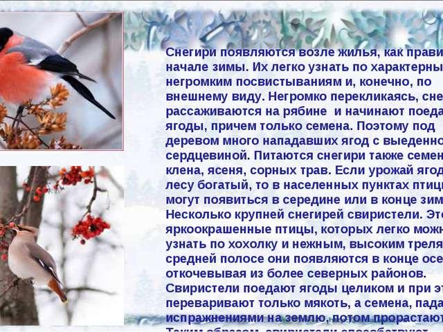 Снегири появляются возле жилья, как правило, в начале зимы. Их легко узнать п...