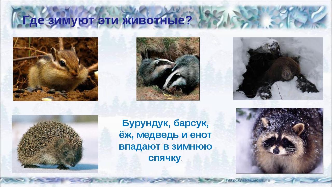 Где зимуют эти животные? Бурундук, барсук, ёж, медведь и енот впадают в зимню...