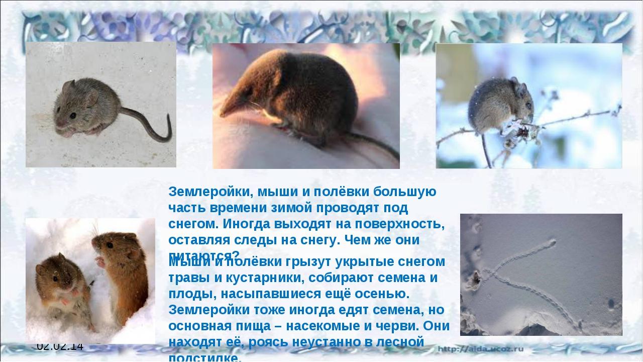 02.02.14 Землеройки, мыши и полёвки большую часть времени зимой проводят под...