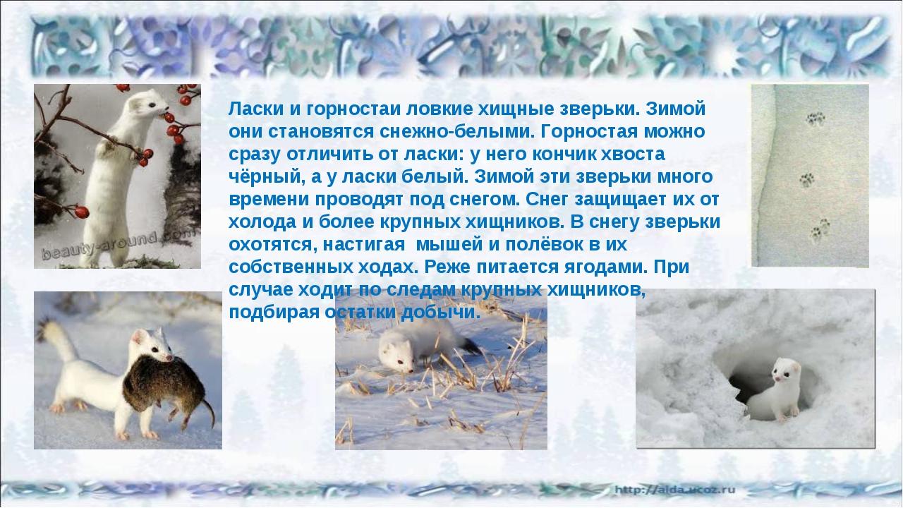 Ласки и горностаи ловкие хищные зверьки. Зимой они становятся снежно-белыми....