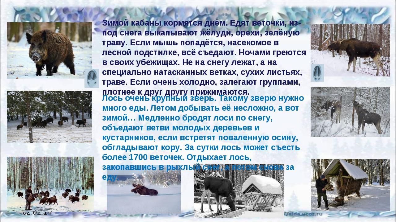 02.02.14 Зимой кабаны кормятся днём. Едят веточки, из-под снега выкапывают жё...