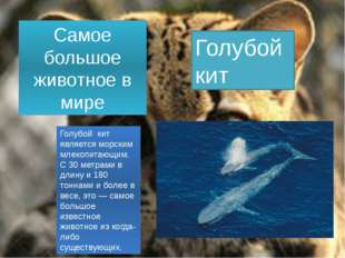 Самое большое животное в мире Голубой кит Голубой кит является морским млекоп
