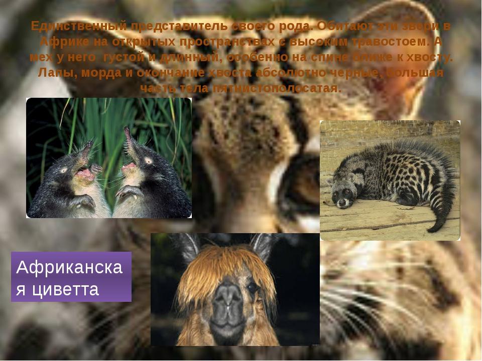 Единственный представитель своего рода. Обитают эти звери в Африке на открыты...