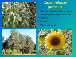 Светолюбивые растения Листья светло-зеленые, часто защищены от яркого солнца