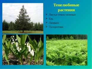 Тенелюбивые растения Листья темно-зеленые Ель Ландыш Папоротник
