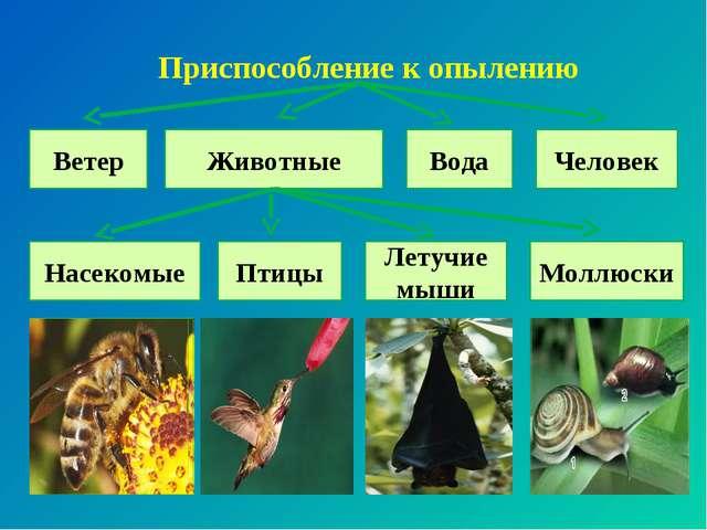 Приспособление к опылению Ветер Животные Вода Птицы Летучие мыши Человек Насе...