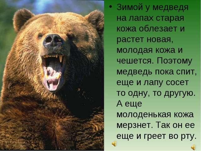 Зимой у медведя на лапах старая кожа облезает и растет новая, молодая кожа и...