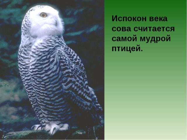 Испокон века сова считается самой мудрой птицей.