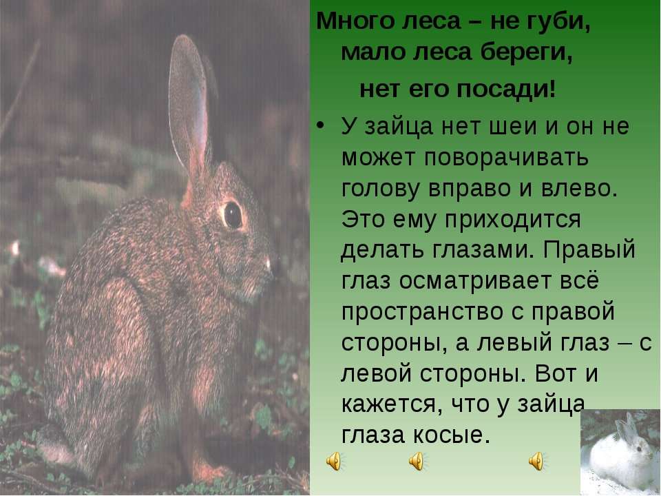 Много леса – не губи, мало леса береги, нет его посади! У зайца нет шеи и он...