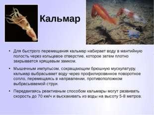 Кальмар Для быстрого перемещения кальмар набирает воду в мантийную полость че
