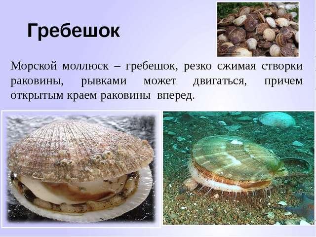 Гребешок Морской моллюск – гребешок, резко сжимая створки раковины, рывками м...