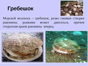 Гребешок Морской моллюск – гребешок, резко сжимая створки раковины, рывками м