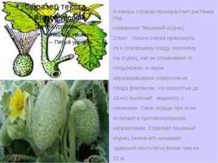 """В южных странах произрастает растение под названием """"бешеный огурец"""". Стоит т"""