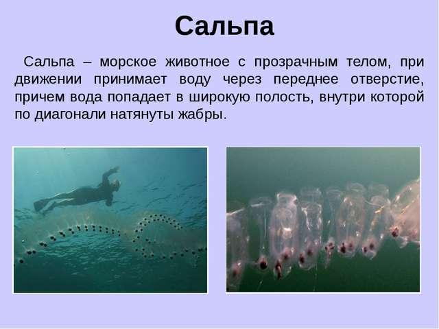 Сальпа – морское животное с прозрачным телом, при движении принимает воду че...