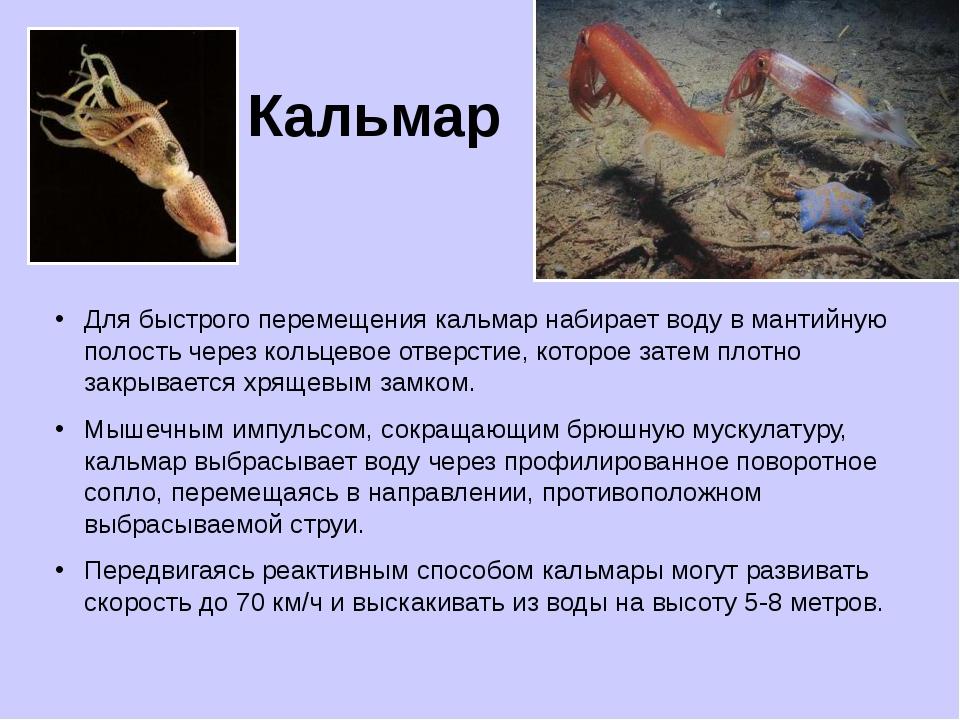 Кальмар Для быстрого перемещения кальмар набирает воду в мантийную полость че...