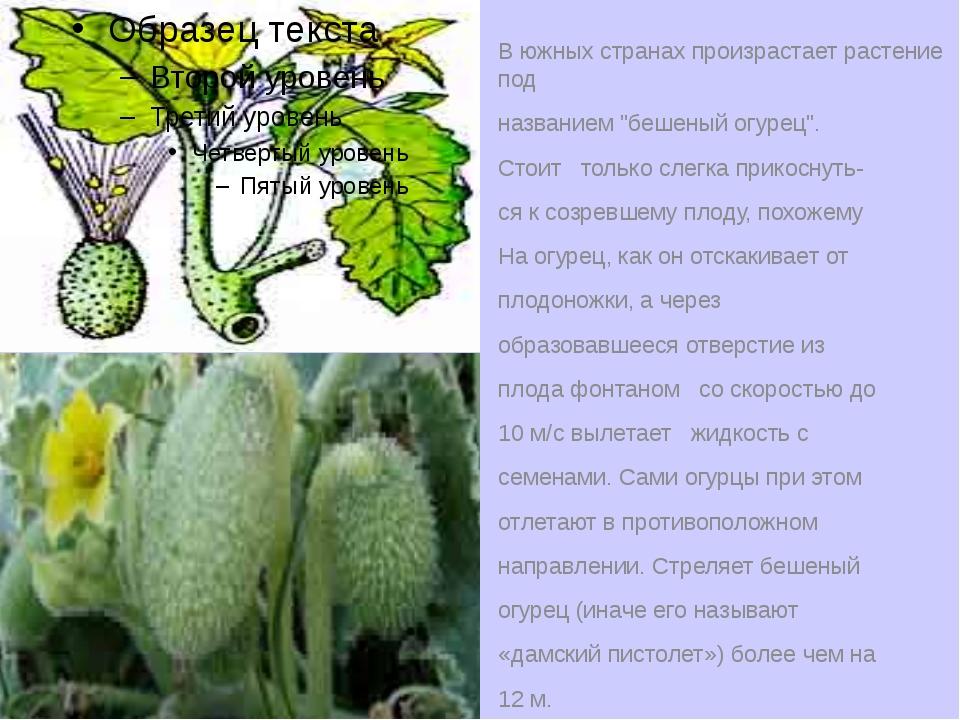 """В южных странах произрастает растение под названием """"бешеный огурец"""". Стоит т..."""
