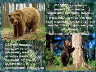 Медведь - мощный коренастый зверь с короткими крепкими ногами и маленьким хв