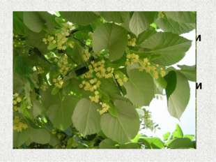 8. С его цветков лучший мед Из него делают ложки и лапти Цветет летом и очень