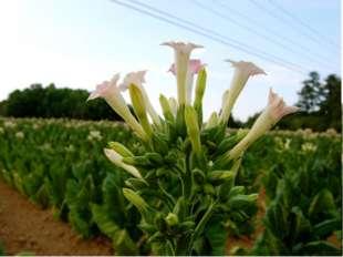Это растение считалось у индейцев лекарственным средством. Его листья наклады