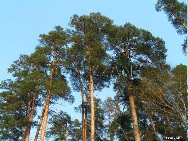 Это дерево почитается многими народами: в Японии и Китае служит символом вечн...