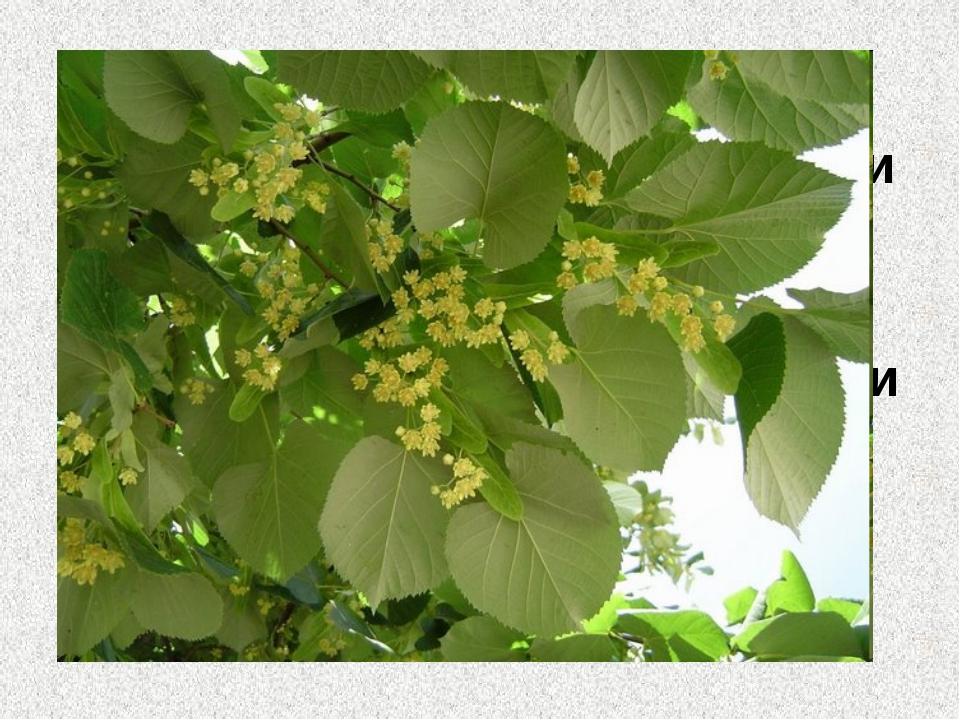 8. С его цветков лучший мед Из него делают ложки и лапти Цветет летом и очень...