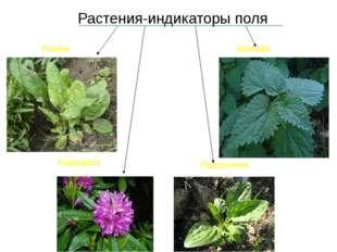 Растения-индикаторы поля Ревень Крапива Родендрон Подорожник