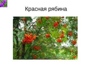 Красная рябина