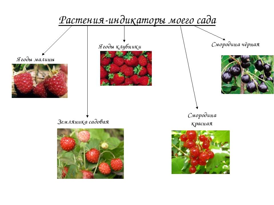 Растения-индикаторы моего сада Ягоды малины Земляника садовая Ягоды клубники...