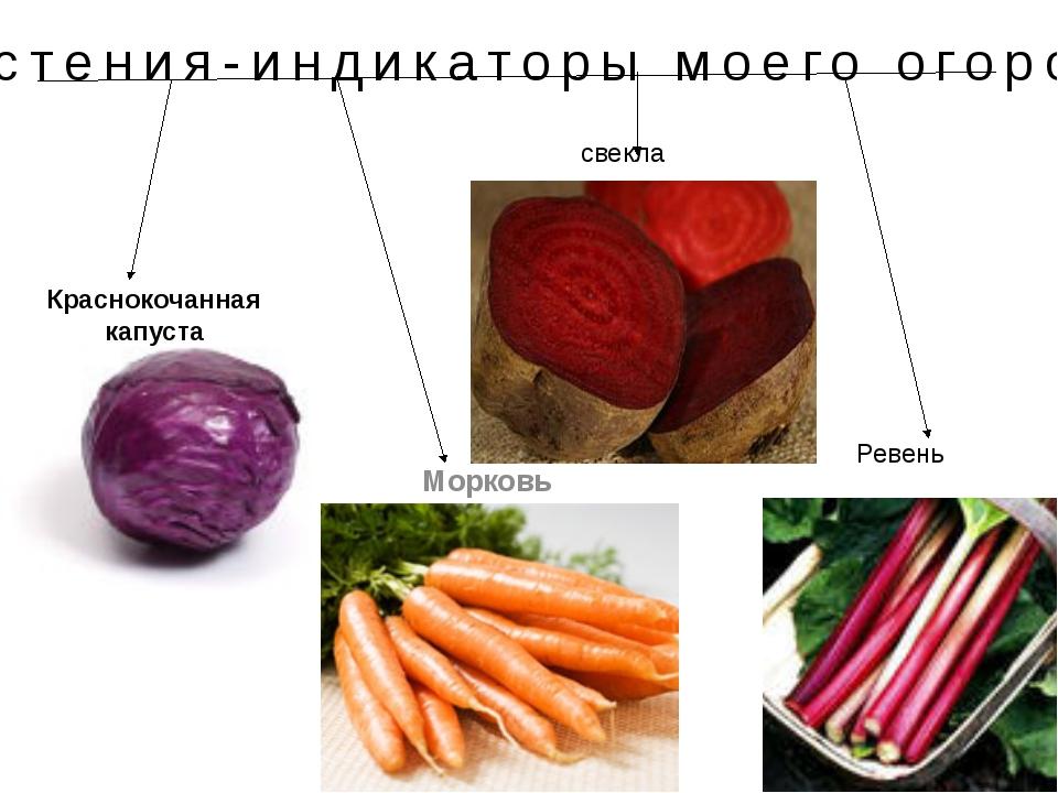 Растения-индикаторы моего огорода Краснокочанная капуста Морковь Ревень свекла
