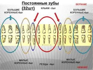 Постоянные зубы (32шт) ВЕРХНИЕ НИЖНИЕ РЕЗЦЫ –4шт КЛЫКИ –2шт МАЛЫЕ КОРЕННЫЕ-4ш