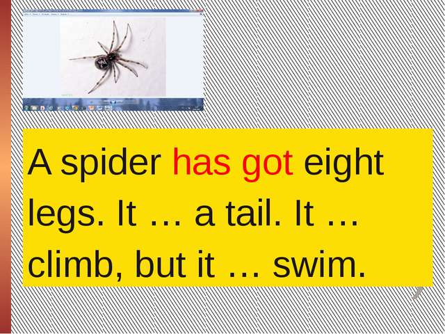 A spider has got eight legs. It … a tail. It … climb, but it … swim.