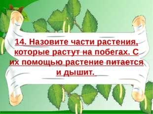 14. Назовите части растения, которые растут на побегах. С их помощью растение