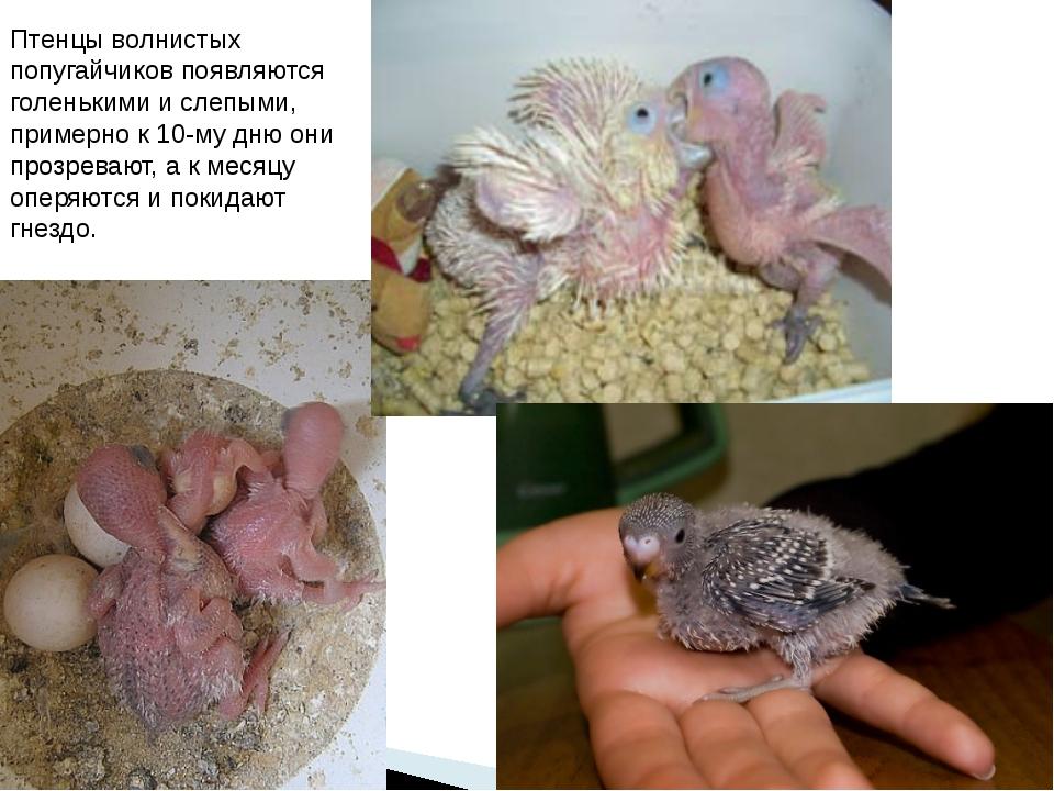 Птенцы волнистых попугайчиков появляются голенькими и слепыми, примерно к 10-...