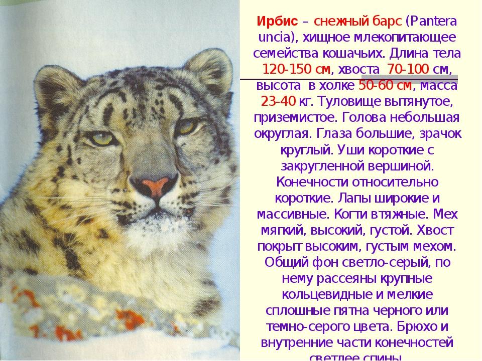 Ирбис – снежный барс (Pantera uncia), хищное млекопитающее семейства кошачьих...