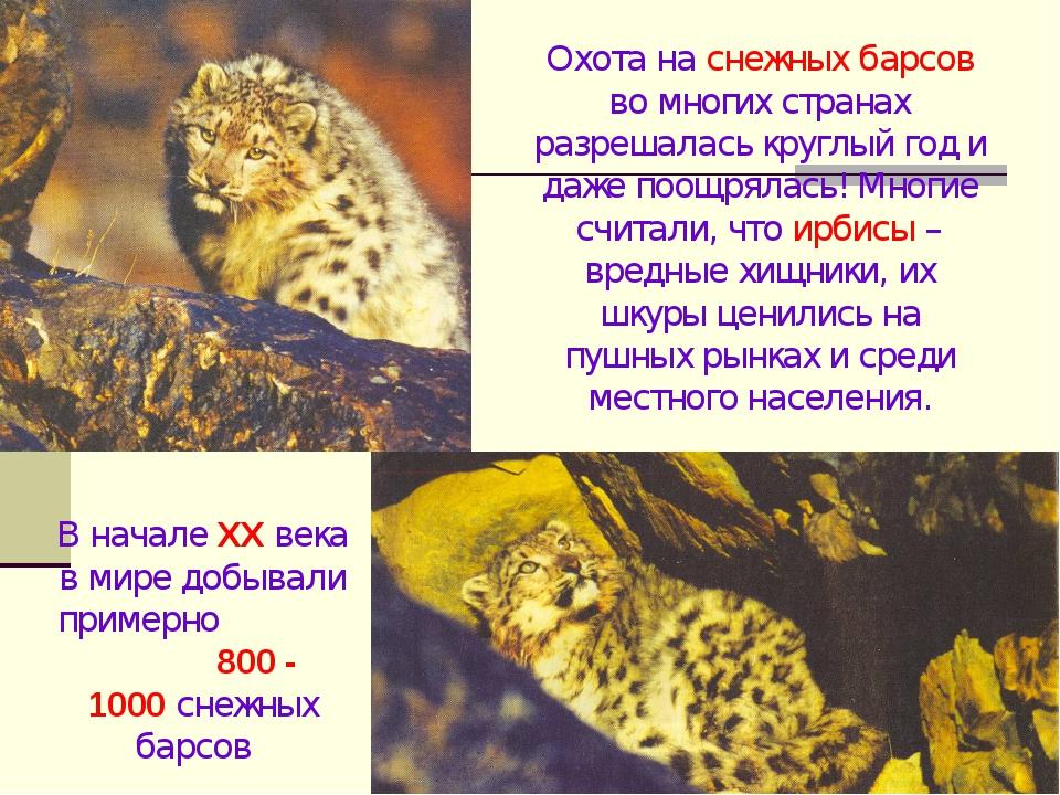 Охота на снежных барсов во многих странах разрешалась круглый год и даже поощ...