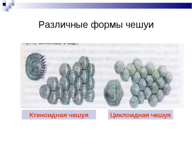Различные формы чешуи Ктеноидная чешуя Циклоидная чешуя