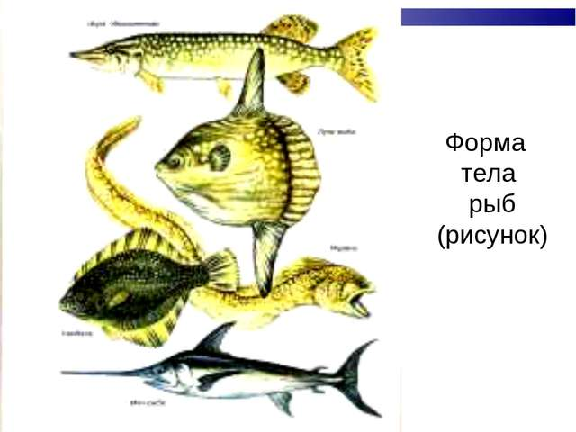 Форма тела рыб (рисунок)