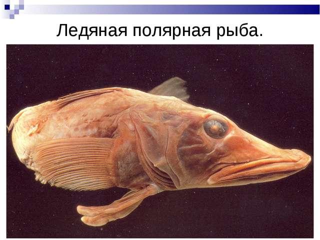 Ледяная полярная рыба.