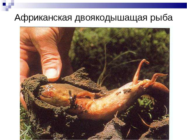 Африканская двоякодышащая рыба