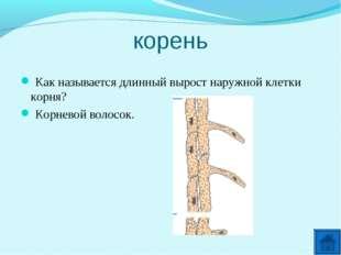 корень Как называется длинный вырост наружной клетки корня? Корневой волосок.