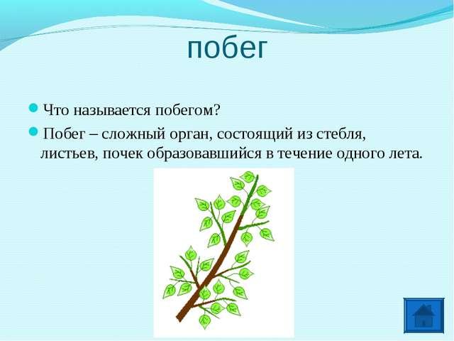побег Что называется побегом? Побег – сложный орган, состоящий из стебля, лис...